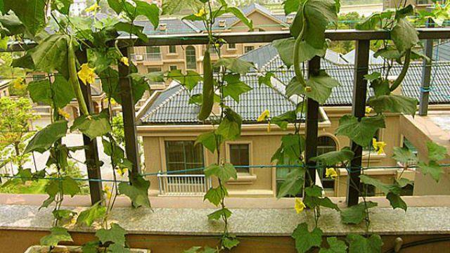 阳台丝瓜的种植方法