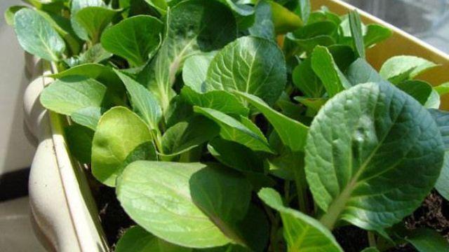 阳台种菜可以用什么样的土