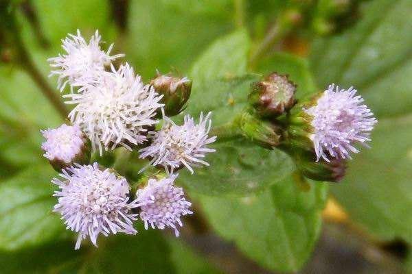 藿香蓟和假臭草的区别