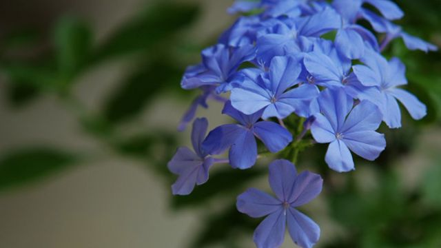 蓝雪花扦插繁殖方式