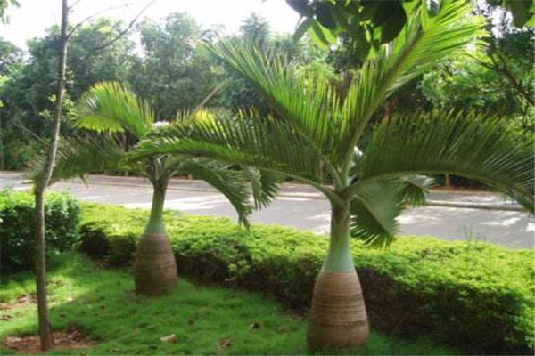 酒瓶椰子的病虫害及其防治