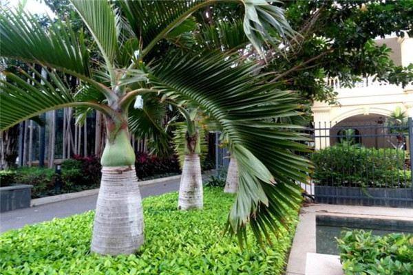 酒瓶椰子的繁殖方法