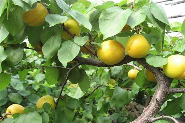 杏树欧亿平台的病虫害及其防治