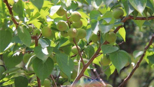 杏树的夏季修剪方法