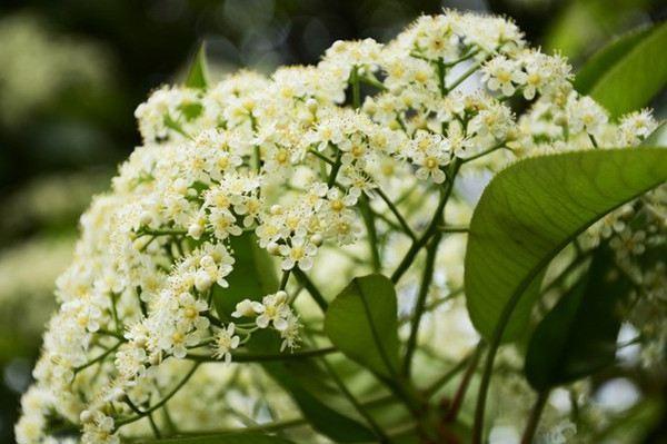 石楠花的花语和文化寓意