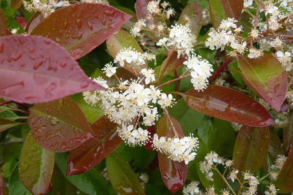 红叶石楠冬季的养护方法