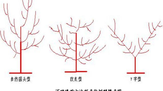 杏树怎么修剪