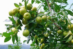 枣树种植资料简介