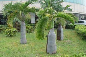酒瓶椰子种植资料简介