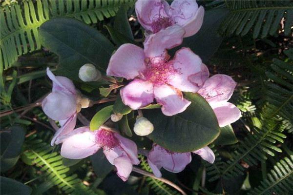 桃金娘的花语和传说