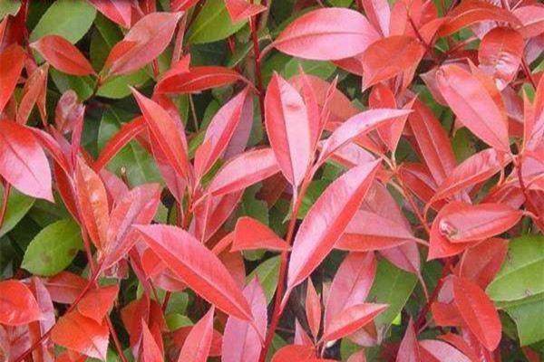 红叶石楠的修剪方法