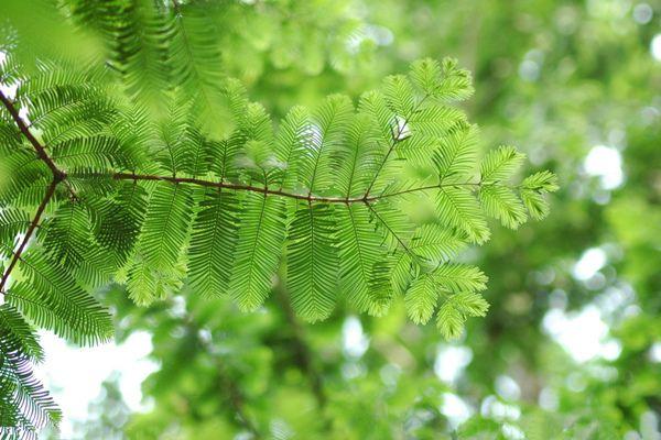 水杉繁殖方法一览