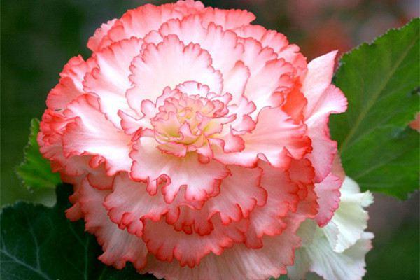 球根海棠视频:这种花比牡丹都漂亮,一粒种子开出一大盆!