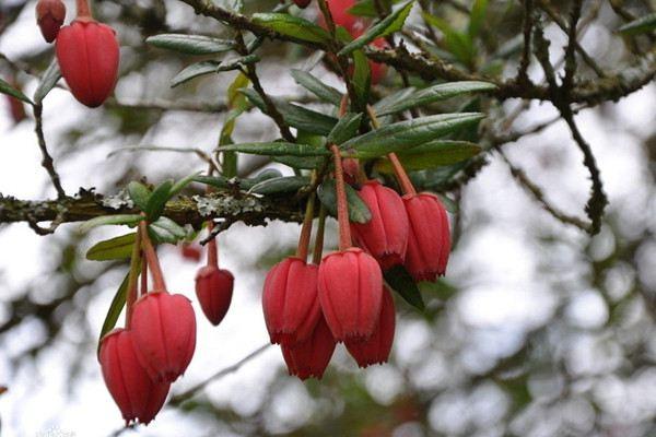 灯笼树播种繁殖方法