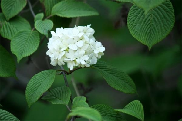 石楠花的病虫害及其防治