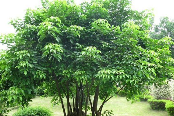 重阳木的虫害及其防治