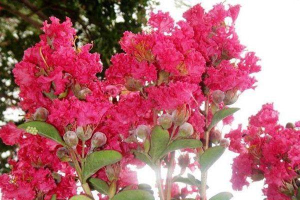 红云紫薇的栽培管理