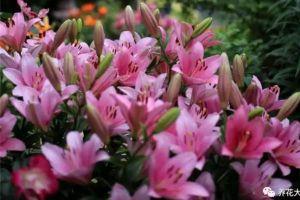 种1次百合,你就知道养花有多简单、多美好了!