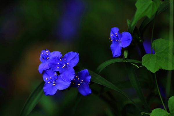 紫露草的病虫害及其防治