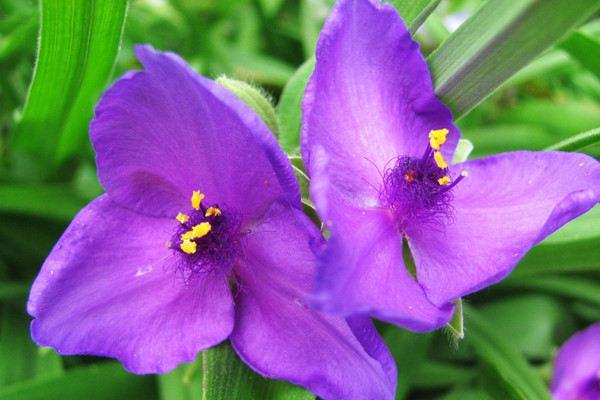 紫露草的水肥管理