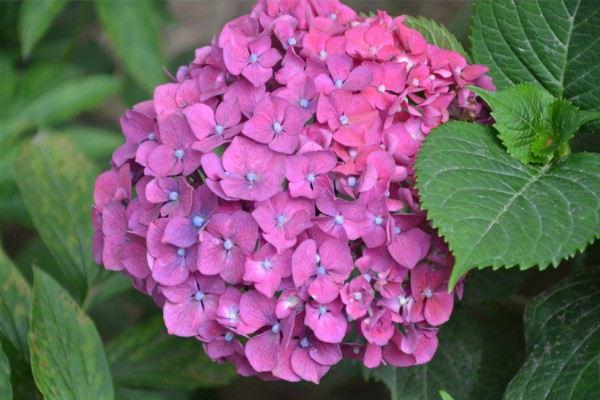 八仙花的繁殖方法