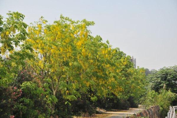 腊肠树的欧亿平台注册登录病虫害及其防治