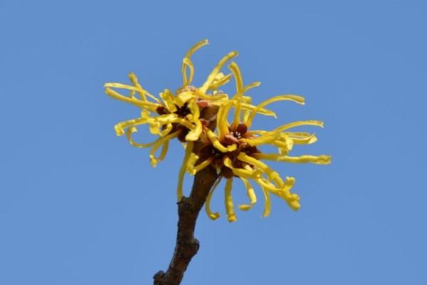金缕梅的病虫害及其防治