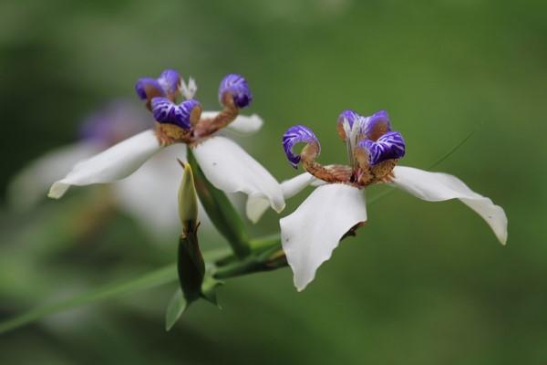 巴西鸢尾的花语