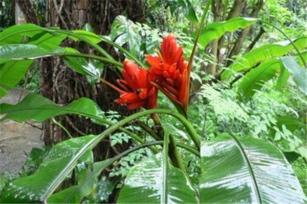 红花蕉的虫害及其防治
