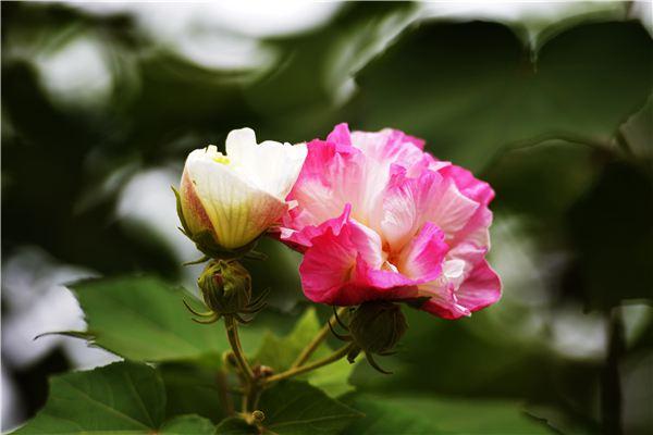 盆栽芙蓉花的养殖方法