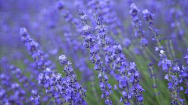 薰衣草与鼠尾草的区别
