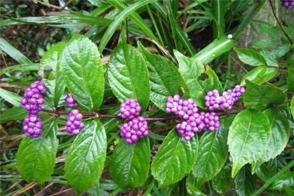 紫珠草和紫珠叶的区别