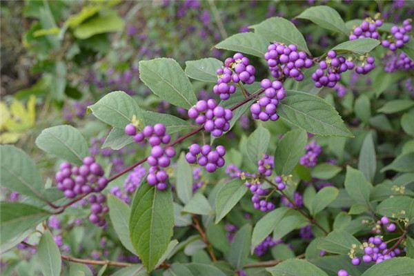 紫珠草的功效和作用