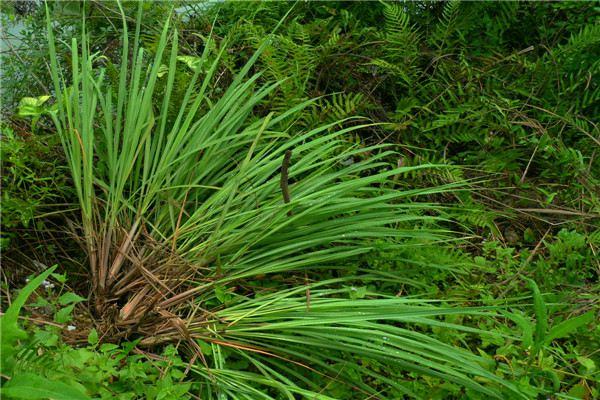 香茅草的功效和作用