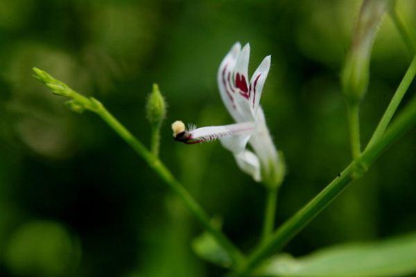 穿心莲的种植方法