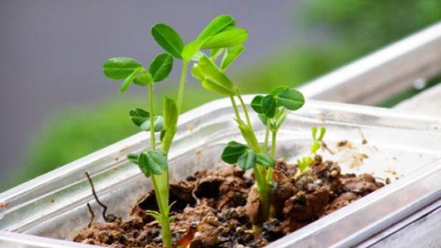 花生盆栽的种植方法