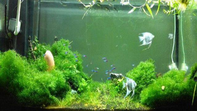 金鱼藻和绿菊的区别