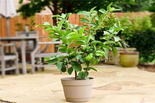 盆栽番石榴的养护方法