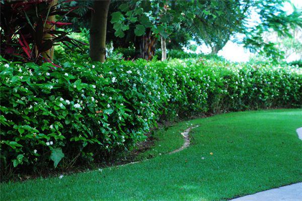 常见的十种花篱植物品种