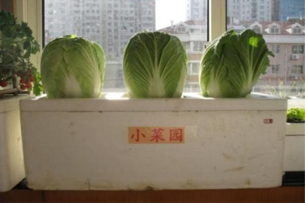 阳台种白菜的方法