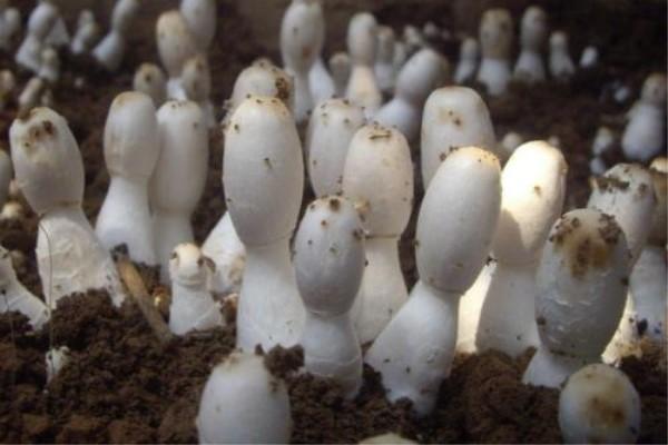 阳台种植蘑菇的方法