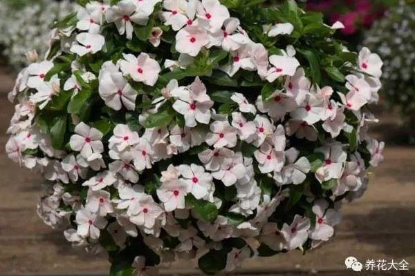 20厘米室内飘窗,也能养成大花园,一年到头花开不断!