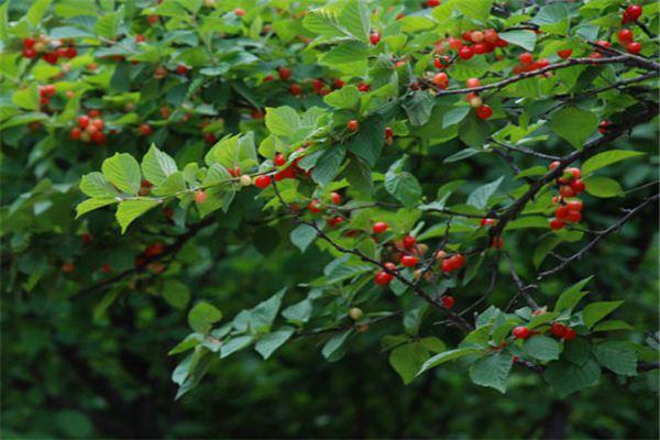 毛樱桃的虫害防治,