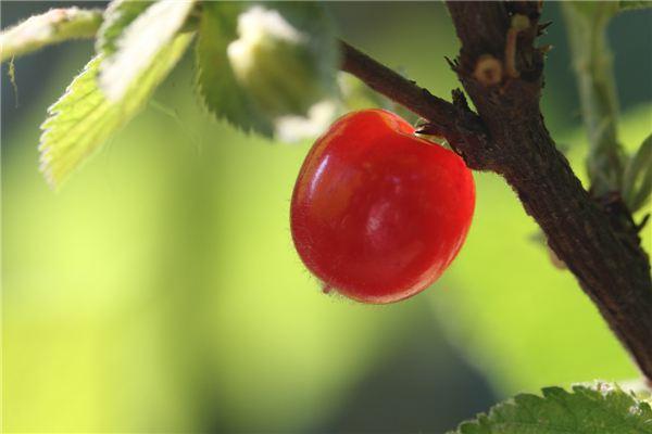 毛樱桃的功效与作用
