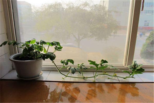 阳台盆栽西瓜的方法