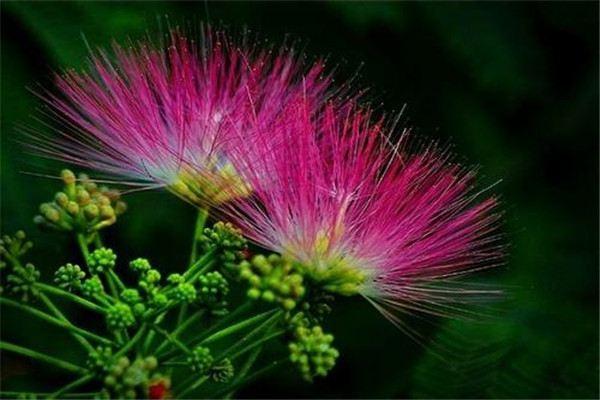 合欢花和芙蓉花怎么区分?