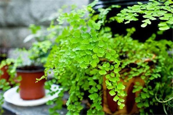 铁线蕨怎么换盆?这样操作保证不伤植物!