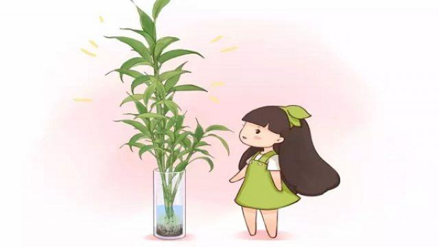 富贵竹从来不黄叶,诀窍竟然在这里!