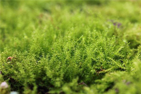 护盆草的常见品种大全!