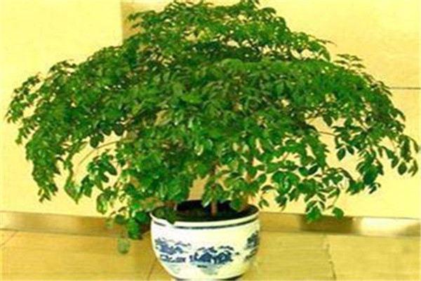 富贵树怎么施肥,这样施肥叶片又厚又绿!